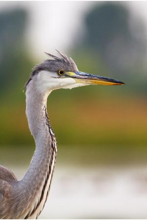 Gray (& white) heron